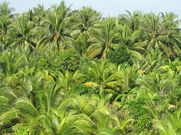 You can see coconut wherever you go in Ben Tre province