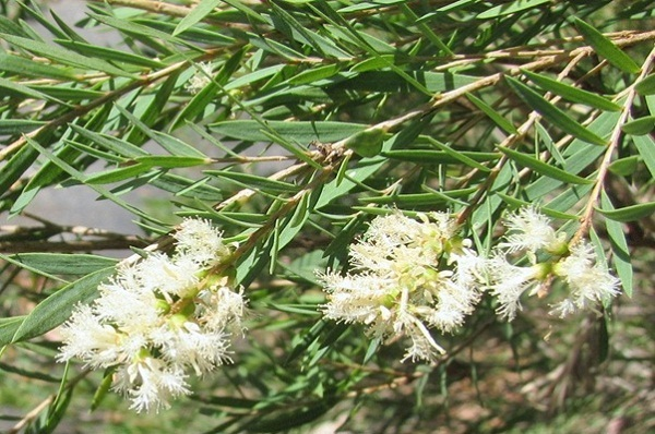 Melaleuca flowers is blossoming through cajeput forest