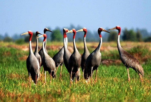 Red – head cranes are nearly 2 meteres tall with smooth grey fur, long legs and long neck returning to Tram Chim in dry season