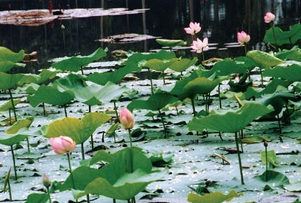 Lotus blossom on the face of Ba Om pond