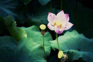 A beautiful lotus flower