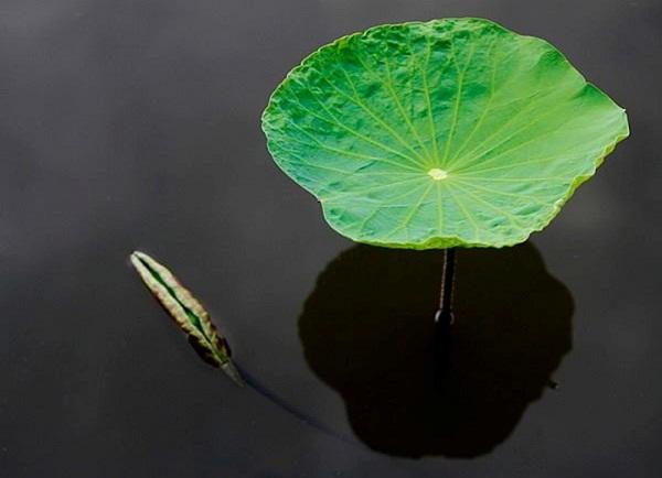 A lotus leave