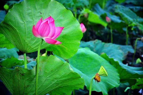 Lotus flowers which attracts tourists most