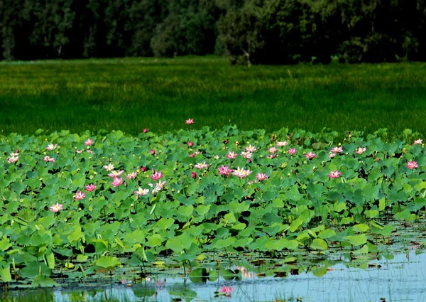 The lotus field