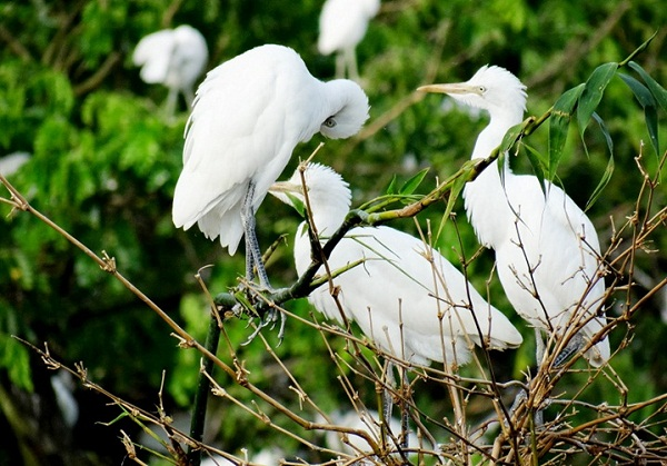White storks contemplating