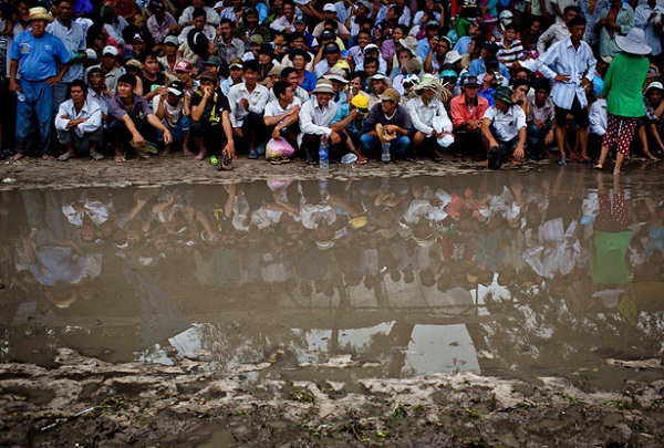 Cow Racing Festival must be organized in a muddy flat rice field