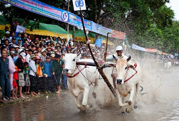Cow Racing Festival of the Khmer in An Giang