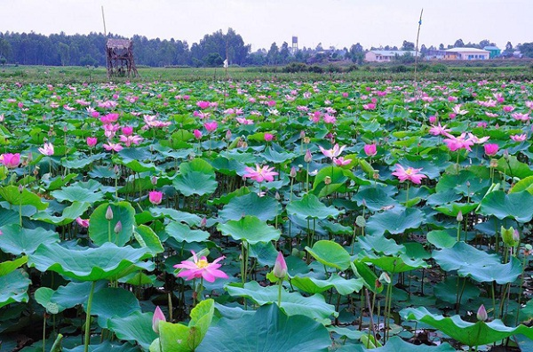 A pond of lotus in Mekong Delta