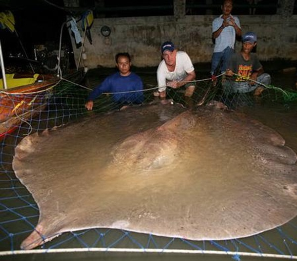 A giant freshwater stingray fished in Thailand