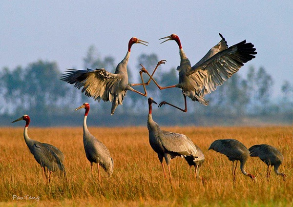 The royal endangered Sarus Crane