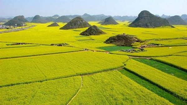 The marvelous scenery of rice paddy fields during harvest time