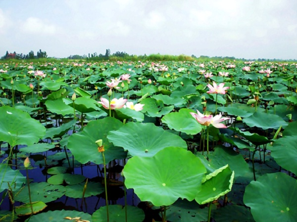 Lotus pond in Dong Thap