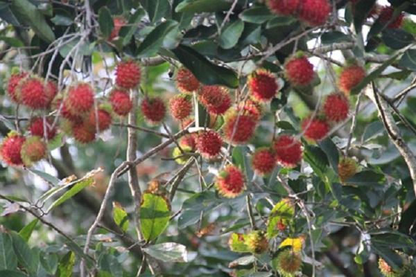 Rambutan orchard in Mekong Delta, Vietnam