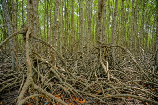 Inside Can Gio Mangrove Forest, Vietnam