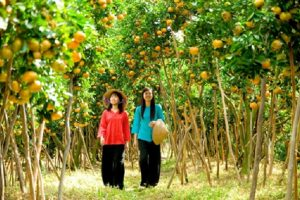 Tan Quy fruit garden