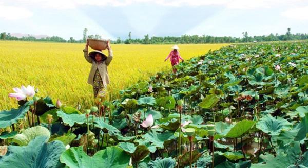 Lotus field besides rice field