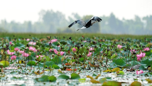 Visit Lotus field – hot destination in Dong Thap Muoi, Vietnam Mekong Delta