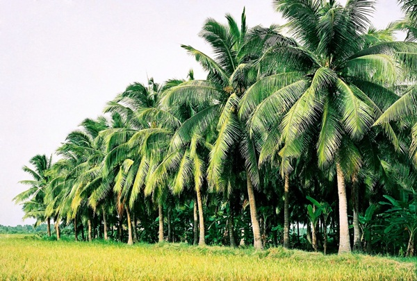 Coconut trees are grown everywhere in Mekong Delta