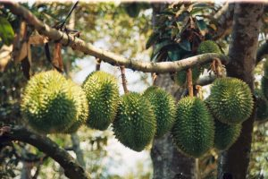 Durian orchard