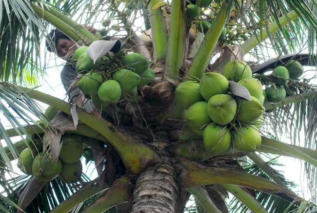 Coconuts are typical fruits in Ben Tre and Mekong Delta
