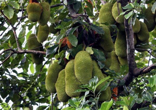 Jackfruits in Mekong Delta