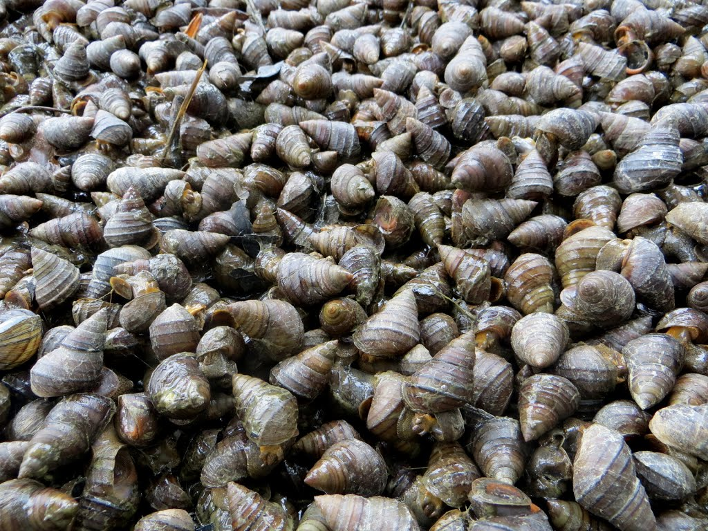 Snails- one of the ingredients of the bait