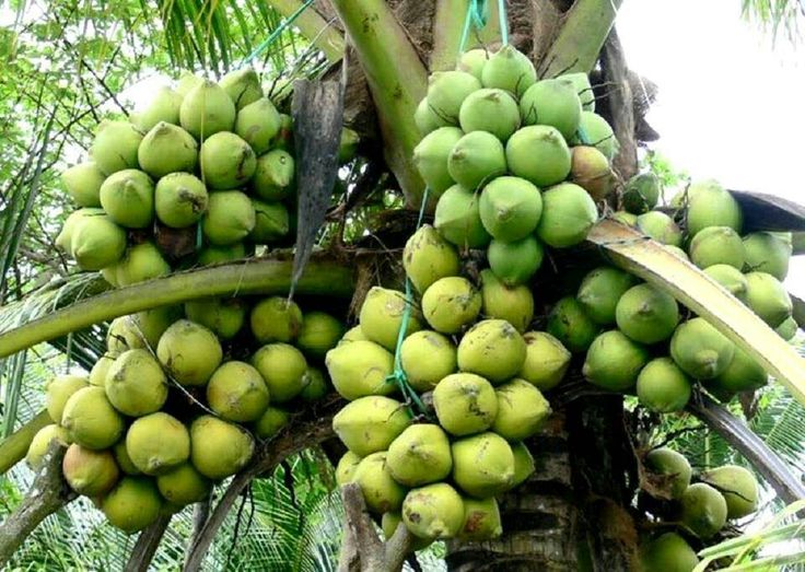 Coconut is the symbol of Ben Tre Province