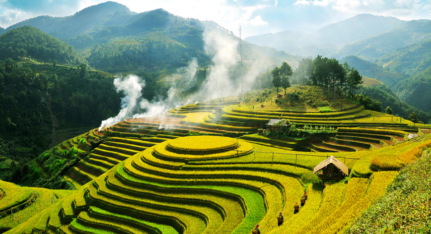 Charming yellow of Sapa terrace fields in summer