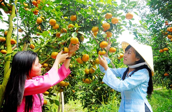 Summer: fruit picking season at the Mekong Delta's orchards