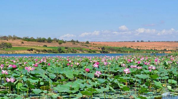 Lotuses in Bau Trang