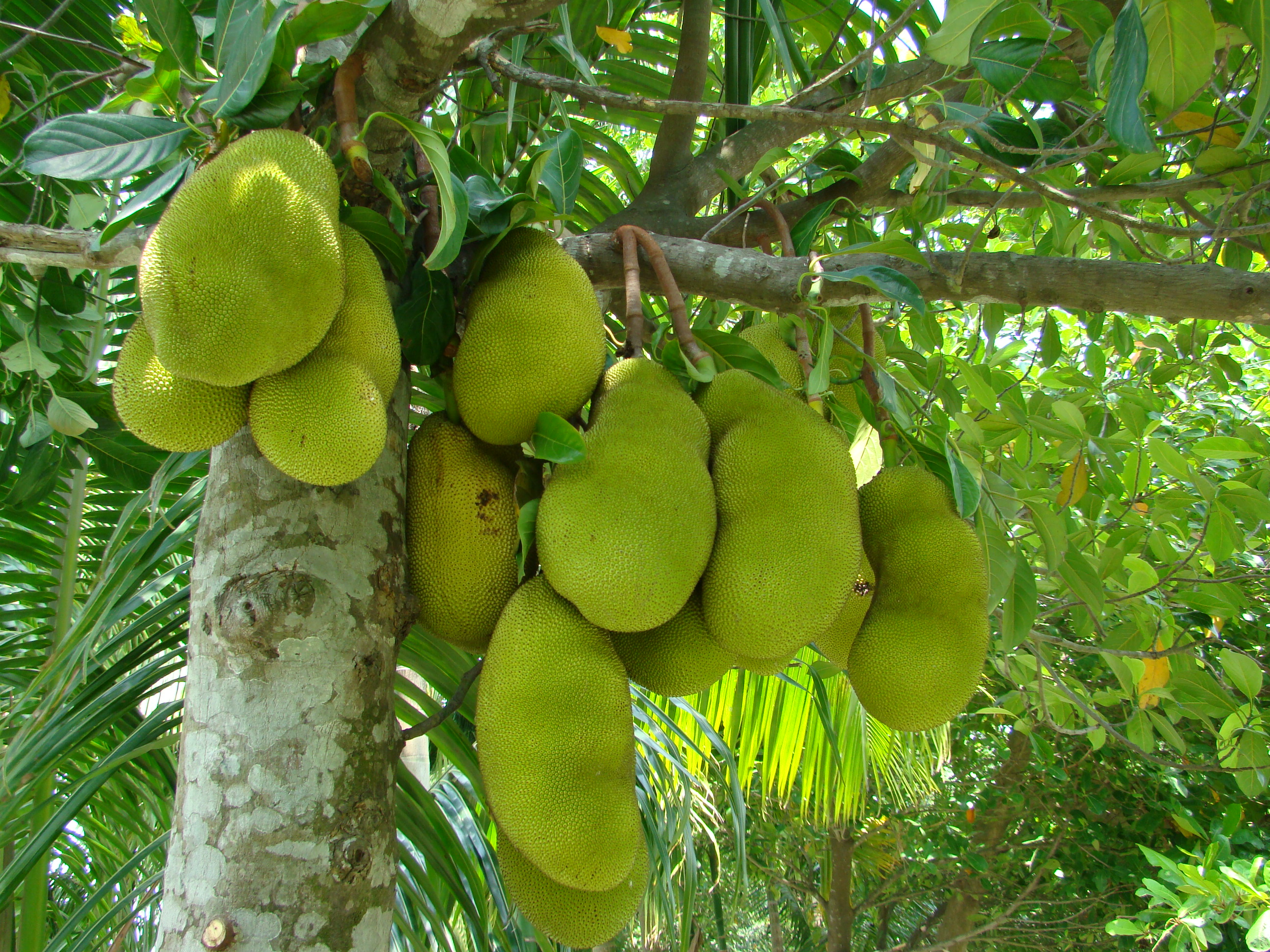 Jack fruits in Mekong delta